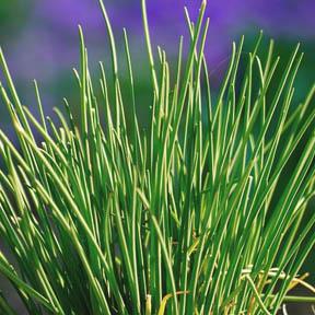 cebollino planta aromática