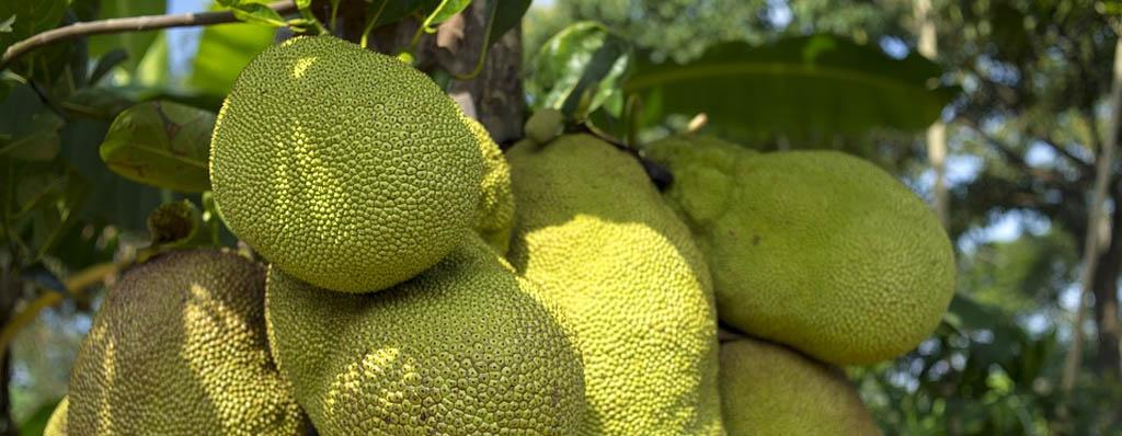 Jackfruit yaca