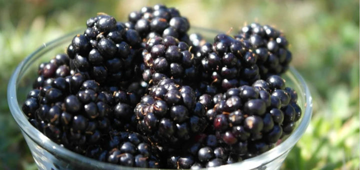 moras blackberries